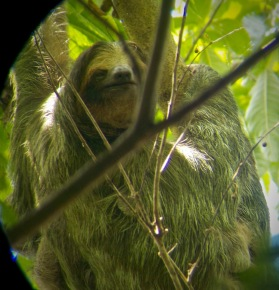 Three toed sloth ..big daddy!