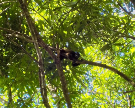 Howler monkey taking a snooze
