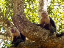 Also called Capuchins