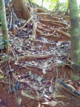 Stairs from tree roots
