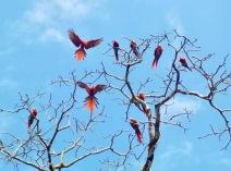 A pandemonium of macawa